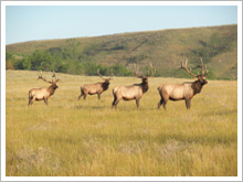 Elk on the Ranch